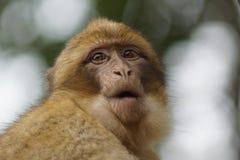 Βαρβαρία Macaque - sylvanus Macaca Στοκ φωτογραφίες με δικαίωμα ελεύθερης χρήσης