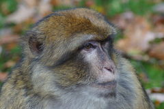 Βαρβαρία Macaque - sylvanus Macaca Στοκ Εικόνα