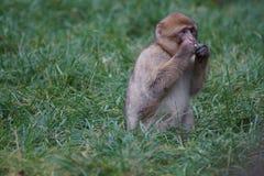 Βαρβαρία Macaque - sylvanus Macaca Στοκ Εικόνες