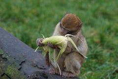 Βαρβαρία Macaque - sylvanus Macaca Στοκ εικόνα με δικαίωμα ελεύθερης χρήσης