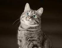 Μια γάτα με τα πράσινα μάτια Στοκ Φωτογραφία