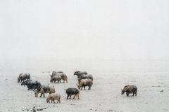 Βαριές χιονοπτώσεις yaks στο Θιβέτ Στοκ Φωτογραφίες