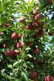 Βαρύς με τα κόκκινα μήλα Στοκ εικόνες με δικαίωμα ελεύθερης χρήσης