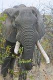 βαρύ ελεφαντόδοντο Στοκ φωτογραφία με δικαίωμα ελεύθερης χρήσης