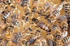 βασίλισσα μελισσών Στοκ Εικόνες