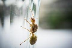 Βασίλισσα μυρμηγκιών υφαντών Στοκ φωτογραφίες με δικαίωμα ελεύθερης χρήσης