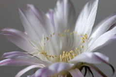 Βασίλισσα της νύχτας (grandiflorus selenicereus) Στοκ Φωτογραφία