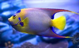βασίλισσα 3 angelfish Στοκ Φωτογραφία