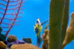 Βασίλισσα angelfish που κολυμπά έξω από πίσω από το κίτρινο κοράλλι Στοκ εικόνα με δικαίωμα ελεύθερης χρήσης