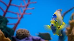 Βασίλισσα angelfish που κολυμπά στο ενυδρείο Στοκ Εικόνες