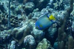 Βασίλισσα angelfish στην κοραλλιογενή ύφαλο Στοκ Εικόνες