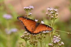 Βασίλισσα Butterfly σε έναν όμορφο κήπο στοκ φωτογραφία