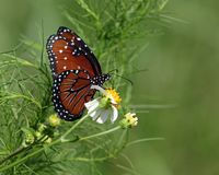 Βασίλισσα Butterfly Pollinating Spanish Needles λουλούδι Στοκ Εικόνες