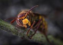 Βασίλισσα Hornet έτοιμη για το χειμώνα στοκ εικόνες