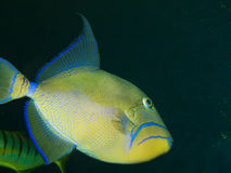 βασίλισσα triggerfish Στοκ φωτογραφίες με δικαίωμα ελεύθερης χρήσης