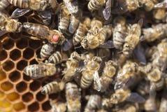Βασίλισσα μελισσών Στοκ εικόνες με δικαίωμα ελεύθερης χρήσης