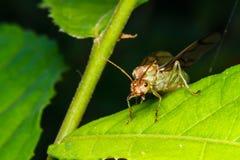 Βασίλισσα μυρμηγκιών υφαντών Στοκ Φωτογραφία