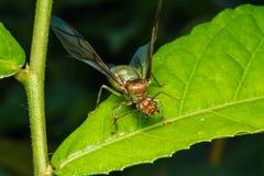 Βασίλισσα μυρμηγκιών υφαντών Στοκ Φωτογραφίες