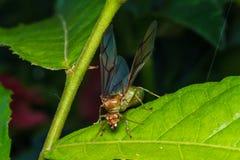 Βασίλισσα μυρμηγκιών υφαντών Στοκ Εικόνες