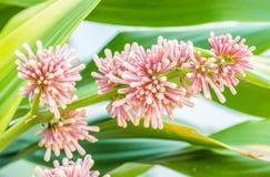 Βασίλισσα του λουλουδιού dracaenas (goldieana Dracaena) Στοκ Εικόνα