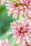 Βασίλισσα του λουλουδιού dracaenas (goldieana Dracaena) Στοκ εικόνα με δικαίωμα ελεύθερης χρήσης