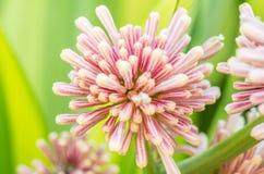 Βασίλισσα του λουλουδιού dracaenas (goldieana Dracaena) Στοκ εικόνες με δικαίωμα ελεύθερης χρήσης
