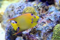 Βασίλισσα Angelfish (ciliaris Holacanthus) Στοκ Εικόνες