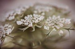 Βασίλισσα Ann Flower Dark Στοκ Φωτογραφίες