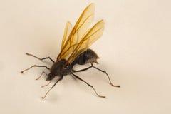 Βασίλισσα Ant, φτερωτό μυρμήγκι Στοκ εικόνα με δικαίωμα ελεύθερης χρήσης