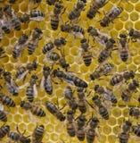 Βασίλισσα Bee και μέλισσες Στοκ φωτογραφία με δικαίωμα ελεύθερης χρήσης