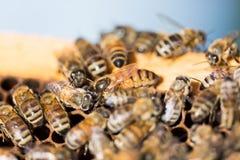 Βασίλισσα Bee στην κηρήθρα Στοκ Εικόνες