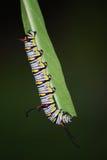 Βασίλισσα Butterfly Caterpillar Στοκ Εικόνες