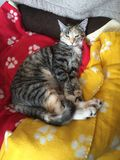 Βασίλισσα Cleo η γάτα Στοκ φωτογραφία με δικαίωμα ελεύθερης χρήσης