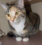 Βασίλισσα Cleo η γάτα στοκ φωτογραφία