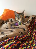 Βασίλισσα Cleo το γατάκι Στοκ Φωτογραφία