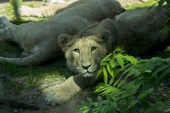 Βασίλισσα Lion Στοκ Φωτογραφία