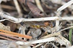 Βασίλισσα Pavement Ants Στοκ Φωτογραφίες