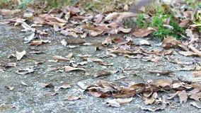 Βασανιστικά ξηρά φύλλα με το δίκρανο σίδηρος-μπαμπού στο τσιμεντένιο πάτωμα απόθεμα βίντεο
