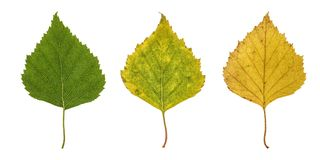 Βασικά φύλλα σημύδων Στοκ εικόνες με δικαίωμα ελεύθερης χρήσης