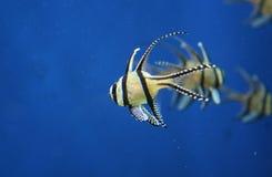 βασικά ψάρια τροπικά Στοκ Εικόνες