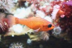 Βασικά imberbis Apogon ψαριών Στοκ φωτογραφία με δικαίωμα ελεύθερης χρήσης