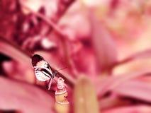 Βασική πεταλούδα πιάνων Longwing στο ρόδινο υπόβαθρο Στοκ φωτογραφία με δικαίωμα ελεύθερης χρήσης