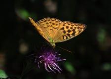 Βασική πεταλούδα Στοκ φωτογραφία με δικαίωμα ελεύθερης χρήσης