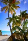Βασικοί φοίνικες ΗΠΑ παραλιών της δυτικής Φλώριδας Smathers Στοκ Εικόνες