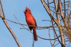 βασικό αρσενικό cardinalis βόρειο στοκ εικόνα με δικαίωμα ελεύθερης χρήσης