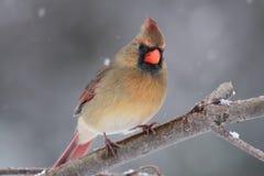 βασικό θηλυκό χιόνι Στοκ φωτογραφία με δικαίωμα ελεύθερης χρήσης