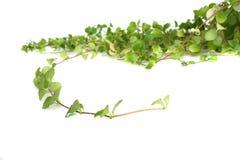 βασικό φυτό Στοκ Εικόνες