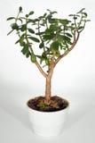 βασικό φυτό Στοκ εικόνες με δικαίωμα ελεύθερης χρήσης