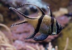 βασικό kauderni ψαριών pterapogon στοκ φωτογραφίες