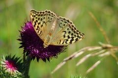 βασικό thystle πεταλούδων Στοκ Εικόνες